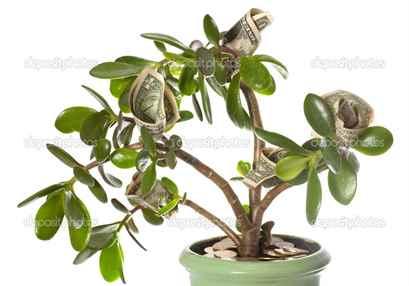 Долларовое дерево : приметы, как использовать долларовое дерево для привлечения денег
