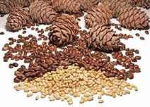 Кедровые орехи польза и вред для мужчин