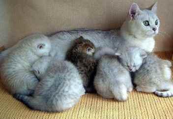 Что означает во сне беременная кошка