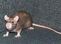 Приснилась кошка и крыса