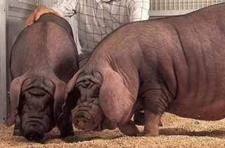 видеть во сне свинью выгодные предложения