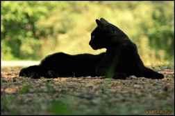 К чему снится черный кот: толкование значений снов