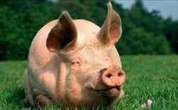 сны и сновидения толкование снов свинья