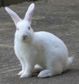 Видеть во сне белого кролика в клетке