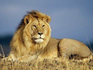 бояться чему льва снится к