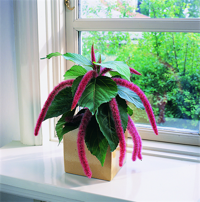 Цветок акалифа (лисий хвост): уход в домашних условиях, фото